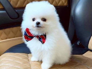 Cute Pomeranian puppies for rehoming
