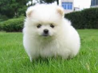 Playful Pomeranian puppies for rehoming